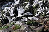 Kittiwakes on Grimsey