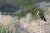 Yellowheaded Blackbird on a Fence