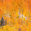 An incredible display of autumn color, set against a soft layer of snow. Wasatch Mountains, UT