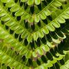 Fern Leaf, DeSoto National Forest, Mississippi