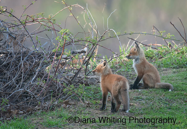 Fox Kits_DEW2878 copy