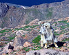 This Mountain Goat was feeding in the morning on Mt Evans and I managed to catch one of the brief moments that it raised its head. Colorado 7-12-2008