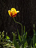 Single Red and Yellow Tulip in Bloom