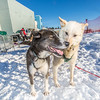 Sled dogs rest between runs during a mushing event in front of the SRC  Saturday, Feb. 22 as part of UAF's 2014 Winter Carnival.  Filename: LIF-14-4089-29.jpg