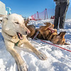 Sled dogs rest between runs during a mushing event in front of the SRC  Saturday, Feb. 22 as part of UAF's 2014 Winter Carnival.  Filename: LIF-14-4089-14.jpg