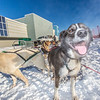 Sled dogs get ready for another run during a mushing event in front of the SRC  Saturday, Feb. 22 as part of UAF's 2014 Winter Carnival.  Filename: LIF-14-4089-35.jpg
