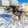 Sled dogs rest between runs during a mushing event in front of the SRC  Saturday, Feb. 22 as part of UAF's 2014 Winter Carnival.  Filename: LIF-14-4089-30.jpg