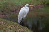 Great Egret IMG_1051