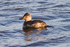 Ruddy Duck IMG_4155