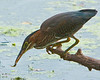 Green Heron Catching Fish