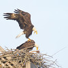 Mating Eagles November 20,2013