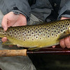 Lough Corrib-Brown trout-being held-flyfishing