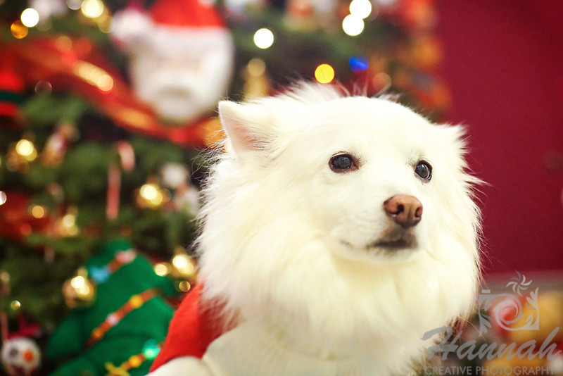 Close-up of an American Eskimo dog named Chabby shot during Christmastime. ….. taken with the Lensbaby Composer Pro.  © Copyright Hannah Pastrana Prieto