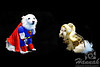 An American Eskimo dog and a Maltese  wearing their Halloween costume  © Copyright Hannah Pastrana Prieto