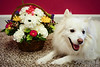 Close-up of an American Eskimo named Chabby beside a basket of flowers that is shaped like a dog  © Copyright Hannah Pastrana Prieto
