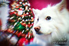 Close-up of an American Eskimo dog named Chabby shot during Christmastime.<br /> ….. taken with the Lensbaby Composer Pro.<br /> <br /> © Copyright Hannah Pastrana Prieto