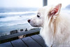 Close-up of a sitting American Eskimo Dog named Chabby looking at the beach<br /> <br /> © Copyright Hannah Pastrana Prieto