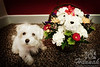 Close-up of a Maltese named Peaches sitting beside a basket of flowers that is shaped like a dog  © Copyright Hannah Pastrana Prieto