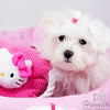 Close-up of a Maltese named Peaches with her Hello Kitty toy  © Copyright Hannah Pastrana Prieto