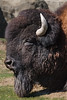Ron the Big Boy Bison