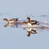 Fishing  Mergansers