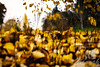 The Colors of Fall  ..... yellow dried leaves ..... a Lensbaby Composer Pro image  © Copyright Hannah Pastrana Prieto