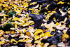 The Colors of Fall  ..... yellow and orange dried leaves on the ground ..... a Lensbaby Composer Pro image  © Copyright Hannah Pastrana Prieto