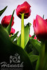 Tall red tulips in low angle shot taken at Wooden Shoe Tulip Farm in Woodburn, OR  © Copyright Hannah Pastrana Prieto