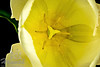 Macro top shot of a tulip flower<br /> <br /> © Copyright Hannah Pastrana Prieto