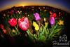 Close-up of colorful tulips during sunset taken at Wooden Shoe Tulip Farm in Woodburn, OR<br /> <br /> © Copyright Hannah Pastrana Prieto