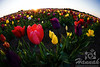 Close-up of colorful tulips taken at Wooden Shoe Tulip Farm in Woodburn, OR<br /> <br /> © Copyright Hannah Pastrana Prieto