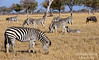Zebras And A Wildebeest