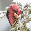 White-winged Crossbill Male-3805