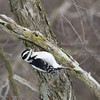 Downy Woodpecker-0572