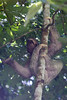 A three-toed sloth eats in Manuel Antonio National Park, Costa Rica on Wednesday, May 28, 2014.