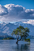 The most famous tree of New Zealand