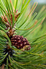 Macro Pine Needles | Wall Art Resource