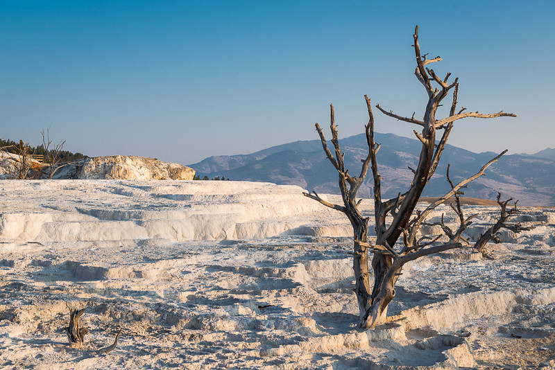 Terraces of travertine, a limestone deposit, reflect bright white from the early morning sun on a clear blue, cobalt sky day at Mammoth Hot Springs in Yellowstone National Park in Wyoming.
