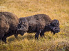 Two bison in profile in Yellowstone NAtional Park