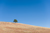 A lone tree sits on a hillside in a golden meadow under a cobalt blue sky in Custer State Park in South Dakota