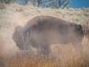 A bison in profile finishes taking a dust bath in Yellowstone National Park in Wyoming.