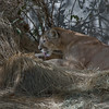 Mountain Lion At Living Desert