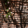 The Garden Wall (Filoli Gardens)