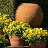 Color Me Yellow (Filoli Gardens)