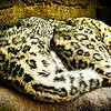 Sleeping Snow Leopards
