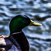 Mallard Duck Portrait