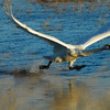 Trumpeter Swan on take off.