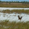 Northern Harrier Hawk hunting.