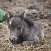 Baby~ Miniature Horse - Five Days old