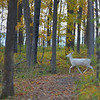 Albino Whitetail Deer @ MN Father Hennepin State Park.